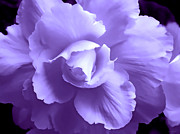 Begonias Posters - Purple Begonia Floral  Poster by Jennie Marie Schell