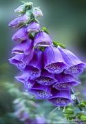 Foxglove Flowers Digital Art Posters - Purple Bell Flowers Foxglove Flowering Stalk Poster by Carol F Austin