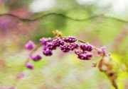 Drama Photographs Posters - Purple berry flowers Poster by Pamela Ellis