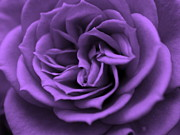 Macro Digital Art - Purple bliss by Teri Schuster