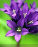 Inexpensive Metal Prints - Purple Blooms Metal Print by Amanda Barcon
