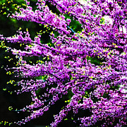 Tree Blossoms Prints - Purple Blossoms Print by Simone Hester