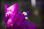 Vine Originals - Purple Bougainvillea 3 by Jessica Velasco