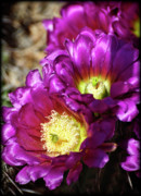 Hedgehog Cactus Prints - Purple Cacti Flowers Print by Saija  Lehtonen