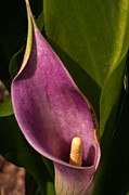 Calla Lilly Posters - Purple Calla Lilly Poster by Douglas Barnett