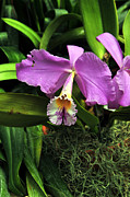 Cattleya Posters - Purple Cattleya Orchid Poster by William Hanus