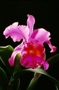 Indoor Still Life Photos - Purple Cattleya by Tomas del Amo - Printscapes