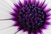 Floral Art Photos - Purple Color Burst by Michael Herb