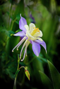 James Steele - Purple Columbine