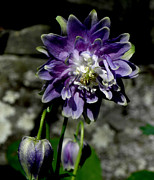 Kim Galluzzo-Wozniak - Purple Columbine