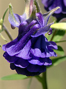 Columbine Photos - Purple Columbine by Sharon  Talson