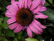 Cone Flower Digital Art Posters - Purple Cone Flower 2 Poster by Laurie Pace
