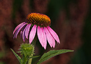 Nature - Purple Cone Flower by Dale Kincaid