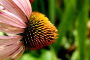 Diane Merkle - Purple Cone Flower