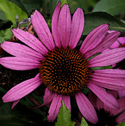 Cone Flower Digital Art Posters - Purple Cone Flower Poster by Laurie Pace