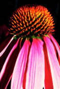 Cone Flower Posters - Purple Cone Flower Poster by Thomas R Fletcher