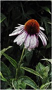 Belinda Witzenhausen - Purple Coneflower