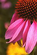 Steve Augustin Metal Prints - Purple Coneflower Close-up Metal Print by Steve Augustin