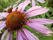 Helen  Campbell - Purple Coneflower