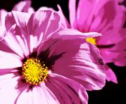 Purple Flowers Digital Art - Purple Cosmos by Cathie Tyler