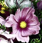 Cosmos - Purple Cosmos Two by Cathie Tyler
