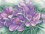 Purple Flowers Drawings - Purple Crocus by Amy S Turner