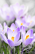 Purple Flowers Posters - Purple crocus blossoms Poster by Elena Elisseeva