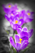Flower Blooming Photos - Purple crocus flowers by Elena Elisseeva