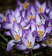 Large Group Of Objects Art - Purple Crocus by Straublund Photography