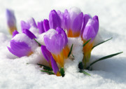 Perennials Posters - Purple Crocuses in the Snow Poster by Sharon  Talson