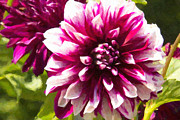 Daphne Sampson - Purple Dahlia Passion