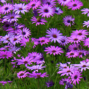 Purple And Green Posters - Purple Daisies Square Poster by Carol Groenen