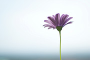 Provence Photos - Purple Daisy Against Sea & Sky Blurred Background by Alexandre Fundone