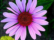 Floral Photo Originals - Purple Daisy by Kathy Roncarati
