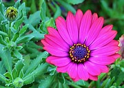 Tamborine Photos - Purple Daisy by Kelly Nicodemus-Miller