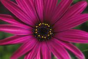 Fresh Green Posters - Purple Daisy Poster by Mary Van de Ven - Printscapes