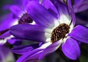 Purple Daisy Print by Sabrina L Ryan