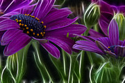 Daisy Metal Prints - Purple Daisy Metal Print by Stylianos Kleanthous