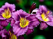 Day Lilly Photos - Purple Day Lillies by Marilyn Hunt