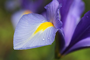 Rain Drop Posters - Purple Dutch Iris Flower Macro Poster by Jennie Marie Schell