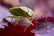 Stink Bug Posters - Purple Eyed Green Stink Bug Poster by Douglas Barnett