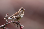 Finch Prints - Purple Finch Female Print by Bruce J Robinson