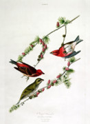 Feeding Paintings - Purple Finch by John James Audubon