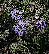 Digitally Enhanced Photographs - Purple Floral  by David Lane