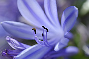 Stamen Photos - Purple Flower Close-up by Sami Sarkis