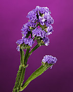 Plant Stretched Canvas Posters - Purple Flower Poster by M K  Miller