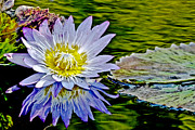 Nature Center Pond Digital Art Posters - Purple Flower Water Lily Poster by Carol F Austin