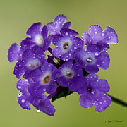 Ajay Bundiwal - Purple flower with due...