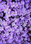 Purple Florals Prints - Purple Flowers - Rockcress Print by Carol Groenen