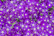 Flower Bed Prints - Purple Flowers Print by Frank Tschakert